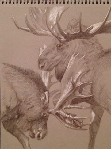 Bull Moose studies at the New York Museum of Natural History