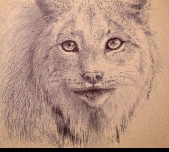 Wild Canadian lynx